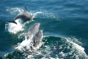 Dolphins in The Pacific Ocean